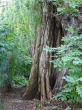 Wide brown trunk an old willow tree. Photo of a wide brown trunk an old willow tree Royalty Free Stock Photography