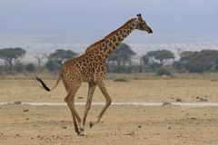 Photo of a Wild Giraffe in Africa. Photo of a Wild Giraffe running in Africa Royalty Free Stock Photo