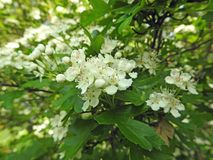 Wild flowers garden natural plants myrtle. Photo of a wild kent garden growing white myrtle trees in full bloom may 2018 stock photography