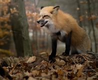 Snarling Fox in Autumn royalty free stock photography