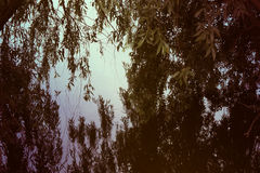 Photo of a willow above the river stock photo