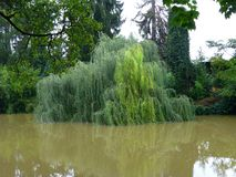 Willow tree partially submerged in the swollen river Stock Photos
