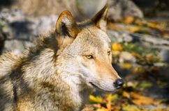 Wolf Portrait in Sunny Day. Photo of the Wolf Portrait in Sunny Day Stock Photo