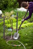 Photo of woman planting apple tree at garden Stock Image
