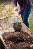 Photo of woman taking compost from wheelbarrow with shovel Stock Images