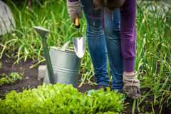 Photo of woman watering salad bed with watering pot Royalty Free Stock Photo