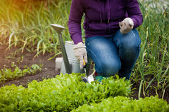 Photo of woman working ar garden on salad bed Stock Photo