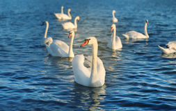 Photo of wonderful swans Royalty Free Stock Image