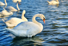 Photo of wonderful swans Royalty Free Stock Photo