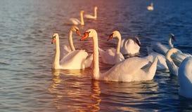 Photo of wonderful swans Stock Photo