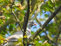 Wood pigeon bird hiding high up in tree top. Photo of a wood pigeon bird perched high up in a tree in a park in whitstable 7th june 2018 stock images