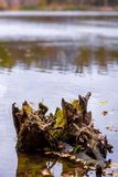 Photo of wooden stump in lake in orange autumn forest Stock Photos