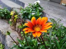 Gazania Flower royalty free stock image