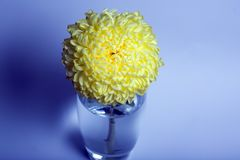 A photo of yellow chrysanthemum flower in glass vase on white background with gradient shadow.top view. A photo of yellow chrysanthemum flower in glass vase on Stock Images