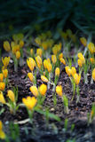 Photo yellow crocuses Royalty Free Stock Image