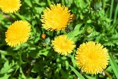 Photo of Yellow Dandelion Flowers