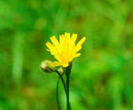 Photo of an yellow dandelion on green background Stock Image