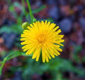Photo of an yellow dandelion on natural background. Photo of an yellow beautiful dandelion on natural background Royalty Free Stock Image