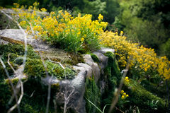 Photo of yellow flowers and moss growing on cliff Stock Image
