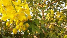 Photo Yellow fresh flowers cassia.1 Royalty Free Stock Image