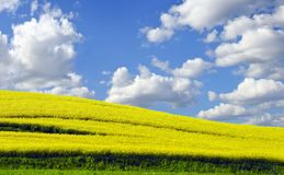 Photo of Yellow rapefield in spring Stock Photo