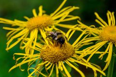 Photo of yellow wild flower with bumblebee in Carpathian mountains Royalty Free Stock Photos