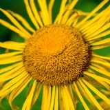 Photo of yellow wild flower in Carpathian mountains Royalty Free Stock Photography