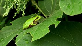 A lovely, but poisonous, little tree frog. stock image