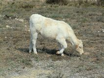 White cow grazing dry grass by the coast stock photo