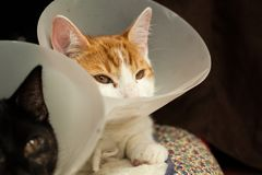 After surgery. Photo of a young ginger tomcat in a plastic Buster collar Royalty Free Stock Images