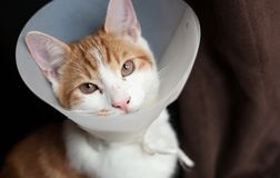 After surgery. Photo of a young ginger tomcat in a plastic Buster collar Royalty Free Stock Photos