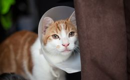 After surgery. Photo of a young ginger tomcat in a plastic Buster collar Stock Image
