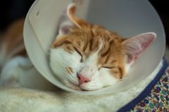 After surgery. Photo of a young ginger tomcat in a plastic Buster collar Royalty Free Stock Image