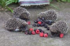 Photo of young hedgehog closeup Stock Image