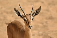 A small impala. A photo of a young Impala. With a desert background Stock Images