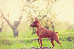 Photo of young miniature pinscher Stock Photo