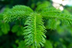 Photo of a young pine branch in macro with soft focus stock photos