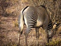 Photo of Zebra Royalty Free Stock Images