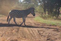 Photo of Zebra Crossing on Dirt Road Stock Photos