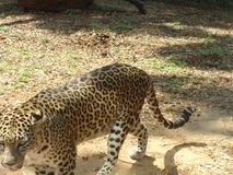 Leopard walking at zoo in cool mood. This photo is from zoo of ooty, while i have visit ooty zoo Royalty Free Stock Photos