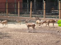 Close view of Deer group at garden of zoo. This photo is from zoo of ooty, while i have visit ooty zoo Royalty Free Stock Photo