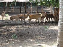 Close view of Deer group at garden of zoo. This photo is from zoo of ooty, while i have visit ooty zoo Stock Photography