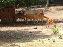 Close view of Deer group at garden of zoo. This photo is from zoo of ooty, while i have visit ooty zoo Stock Image