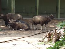 A group of buffaloes resting at zoo. This photo is from zoo of ooty, while i have visit ooty zoo Royalty Free Stock Photos