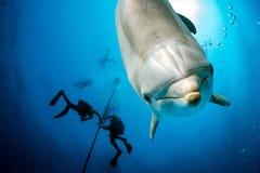 photobombing紧密画象的海豚水下,当看您时 免版税库存照片