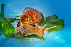 Photocompilation with a snail. The East African snail close up Stock Image