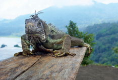 The Photogenic Iguanas Royalty Free Stock Photography