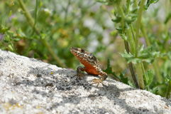 A COMMON WALL LIZARD Royalty Free Stock Images