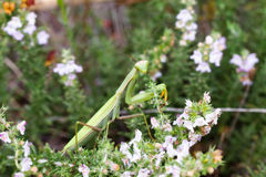 Photogenic mantis Royalty Free Stock Photos