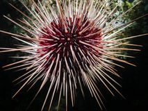 Red Sea Urchin Mesocentrotus franciscanus Stock Photography